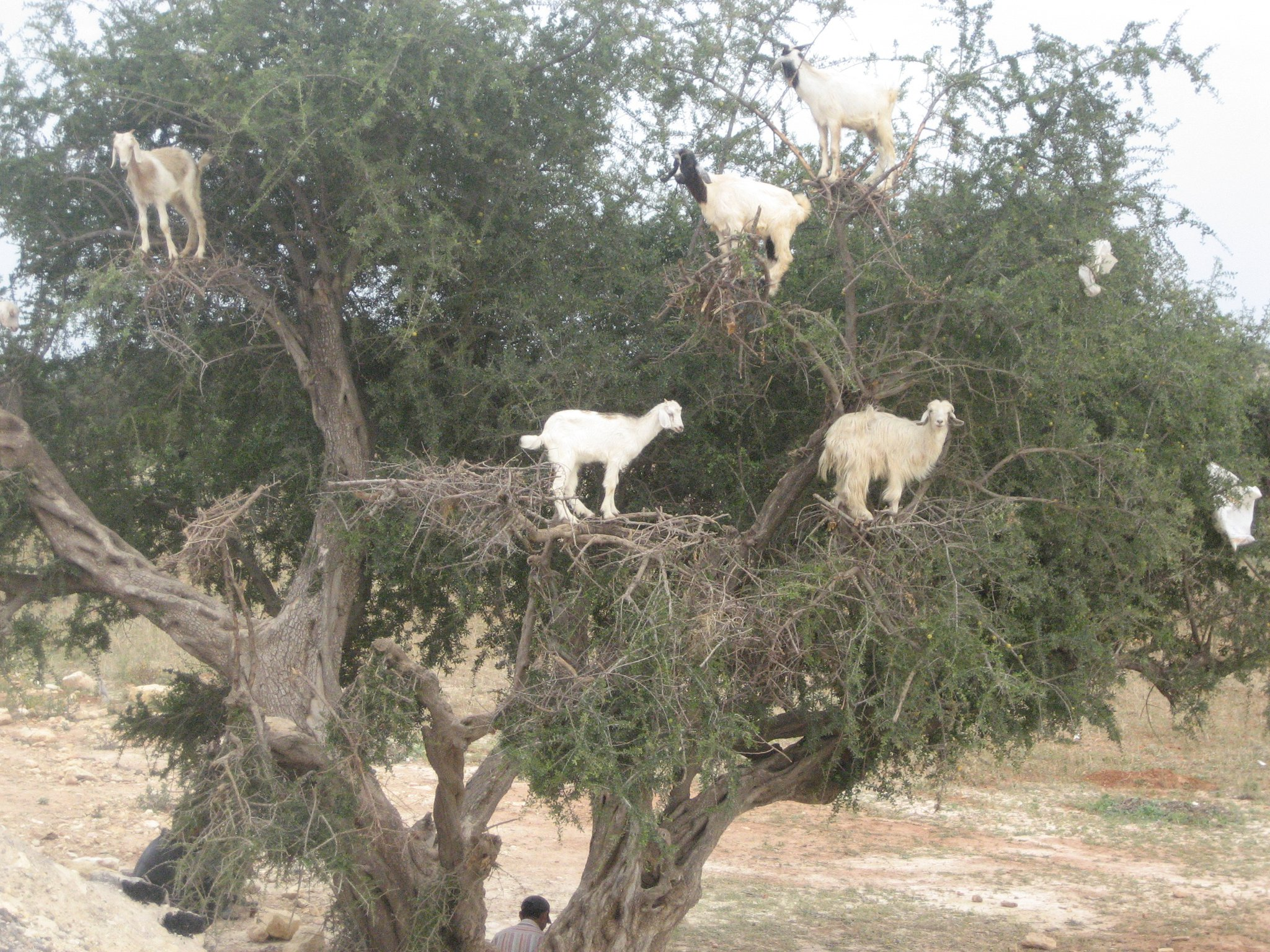 Goats in Trees Morocco