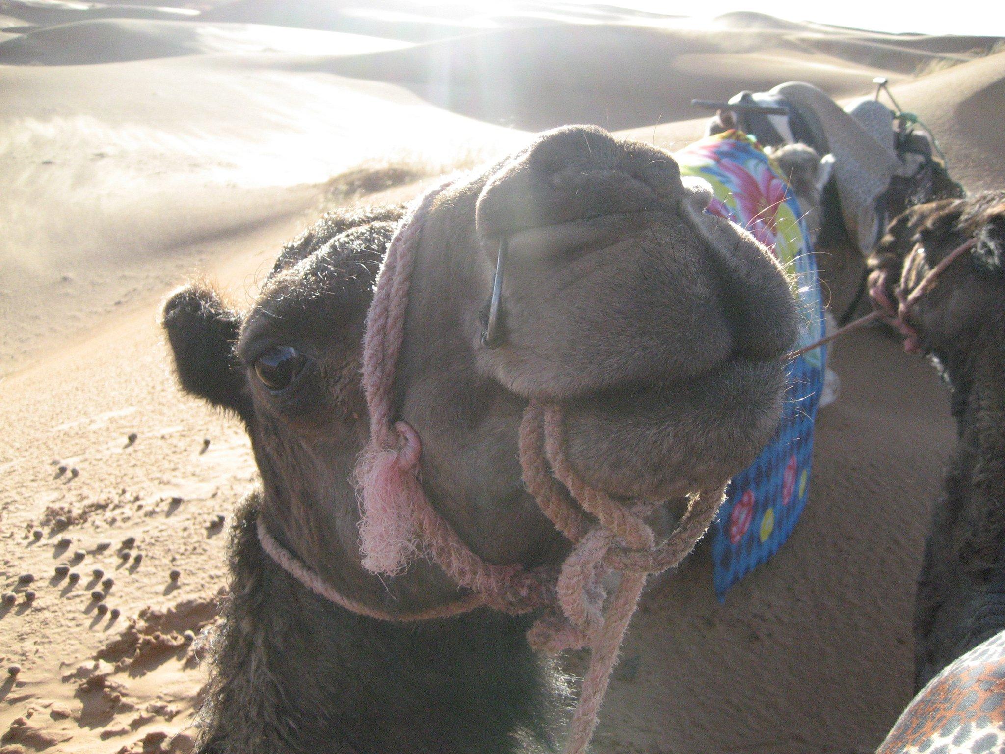 camel Sahara Desert Morocco